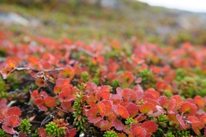 Flowers in Nuuk